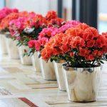 Hoa đỗ quyên – Hoa tết đẹp