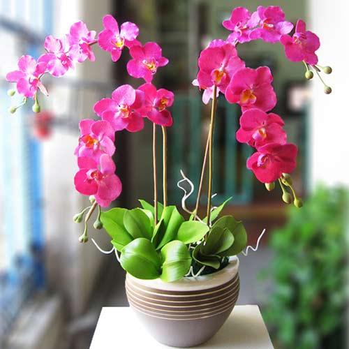 Hoa lan hồ điệp – loài hoa tết sang trọng