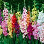 Hoa lay ơn – Hoa tết