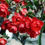 Hoa mai đỏ độc đáo