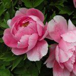 99 loại hoa đẹp ngày tết – Mang sắc xuân về nhà