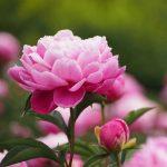 Hoa mẫu đơn loài hoa tết quốc sắc thiên hương
