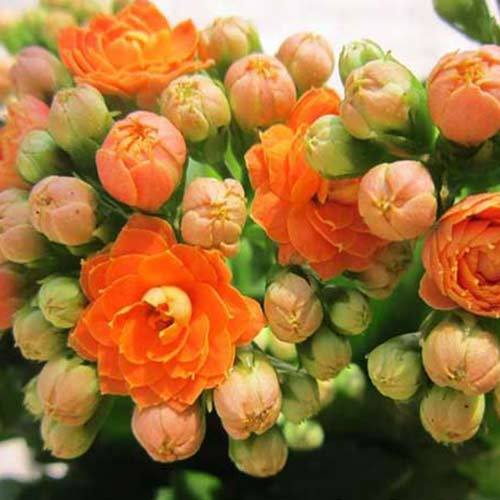 Hoa sống đời hoa tết duyên dáng cực xinh