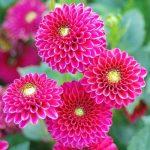 Cây hoa thược dược loài hoa tết duyên dáng