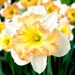 Cây hoa thủy tiên loài hoa tết quý phái
