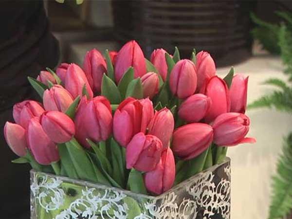 hoa-tulip-2