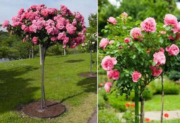 tree-rose-2a
