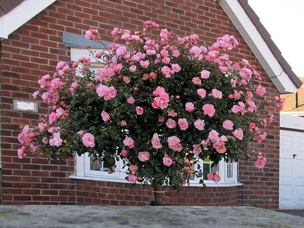 tree-rose-3a