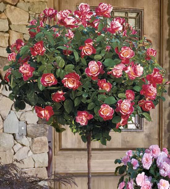 tree-rose-4a