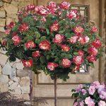 Cây hồng tree rose