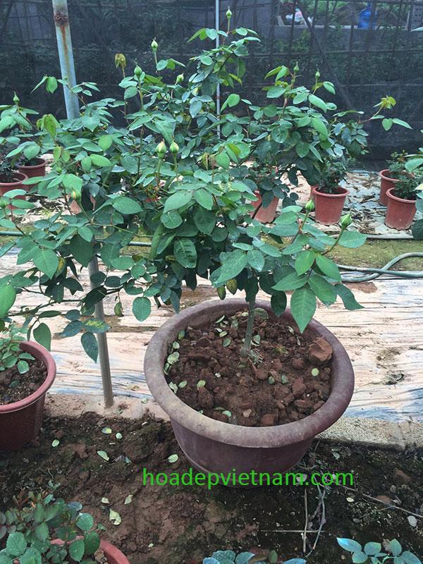 tree-rose-van-khoi