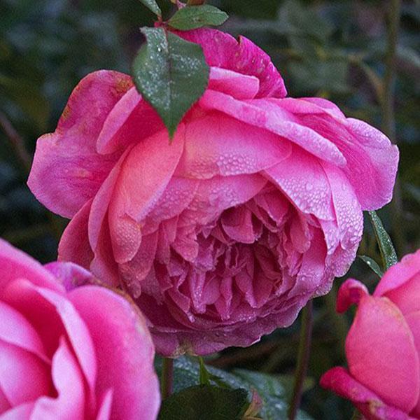 Hoa hồng cổ sapa hoa tết đẹp độc dáo