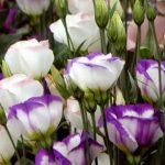 Cách trồng và chăm sóc cây hoa cát tường