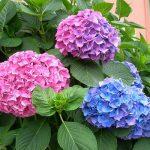 Hoa cẩm tú cầu-Hoa tết đẹp đa sắc màu