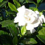 Cây hoa dành dành-Hoa đẹp độc đáo ngày tết