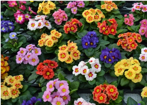 Cây hoa báo xuân-Hoa đẹp nên có trong ngày tết