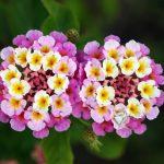 Cây hoa ngũ sắc-hoa tết rực rỡ sắc màu