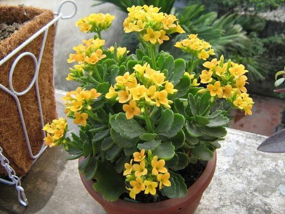 Cây hoa sống đời-Cây hoa trưng bày ngày tết đẹp