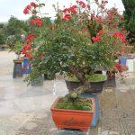 Hoa hồng bonsai chơi tết sang chảnh