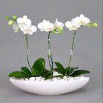 Cây hoa lan hồ điệp-Hoa tết đẹp tươi lâu