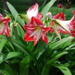 Cây hoa loa kèn-Cây hoa độc đáo trong dịp tết