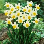 Ý nghĩa của cây hoa thủy tiên