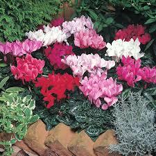 Hoa anh thảo hoa đẹp chơi tết độc đáo