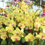 Hoa địa lan hoa trang trí sang chảnh ngày tết