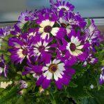 Hoa cúc lá nho hoa tết cho mọi nhà