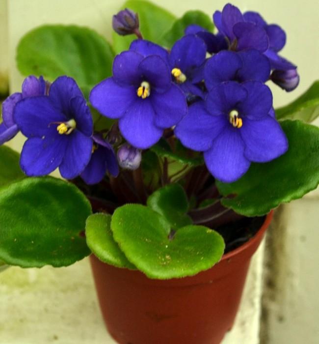 Cây hoa tử linh lan (hoa Violet châu phi) hoa tết đẹp