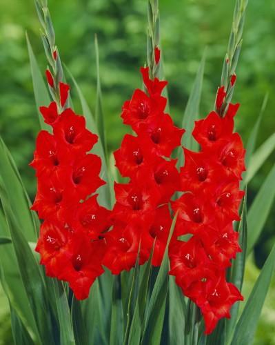 Kết quả hình ảnh cho hoa lay ơn