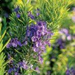 Cây hoa hương thảo và những điều cần biết