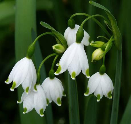 Hoa giọt tuyết hoa tượng trưng cho niềm hi vọng