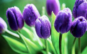 y-nghia-hoa-tulip1