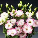 Hoa cát tường loài hoa của năm mới