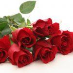 Hoa hồng loài hoa biểu trưng cho tình yêu