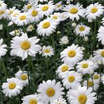 Đi tìm ý nghĩa của những bông hoa cúc