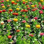 Những nét đẹp của hoa cúc ngũ sắc