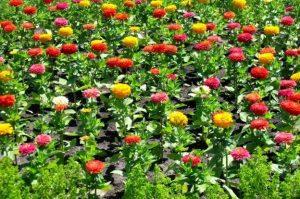 hoa cúc ngũ sắc