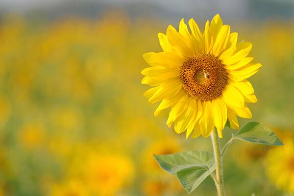 Hoa hướng dương loài hoa của mặt trời