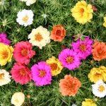 Những điều cần biết về hoa mười giờ