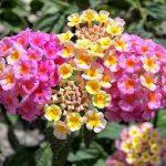 Hoa ngũ sắc-Loài hoa làm đẹp cho đời