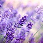 Tìm hiểu những nét đẹp của hoa oải hương