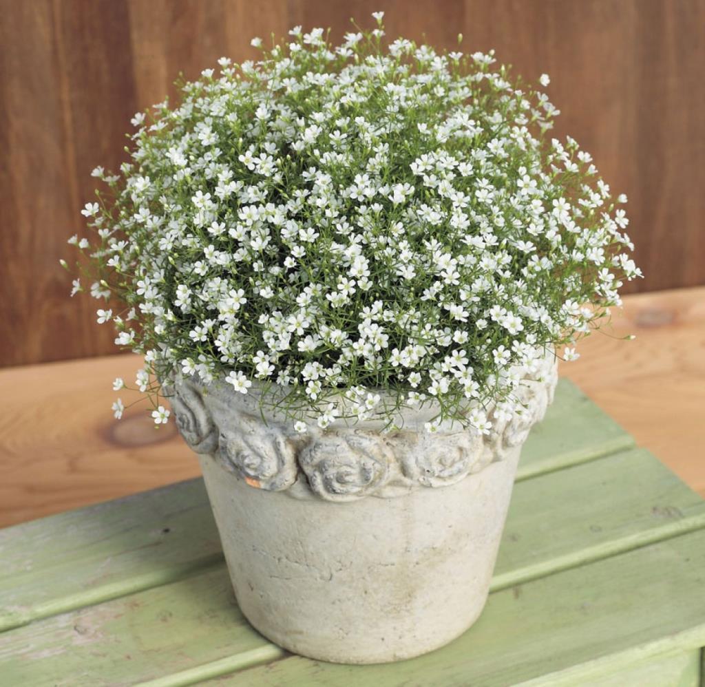 Tập trồng hoa baby – Biểu trưng của sự thanh khiết, trong trắng