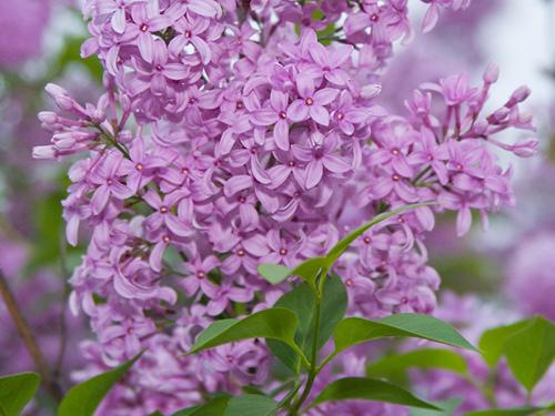 Đinh tử hương một loài hoa độc đáo