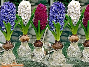 cây hoa dạ lan hương