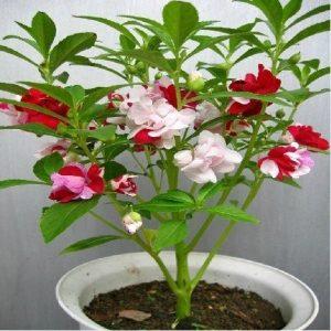 cây hoa móng tay