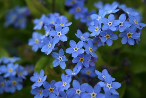 Hoa lưu ly và những nét đẹp nổi bật