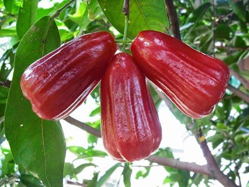 Cây roi – Kỹ thuật trồng và chăm sóc cho sai trĩu quả