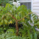 Cách trồng cóc thái trong chậu cho quả sai trĩu